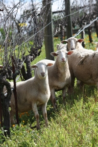 Sheep contribute to the biodynamics at Benziger Winery.